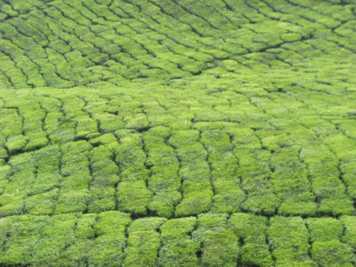 Tea as far as the eye could see! The green density of the tea plantations stretched before us.