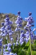 Springtime bluebells grow on the craggy wall's ruins.