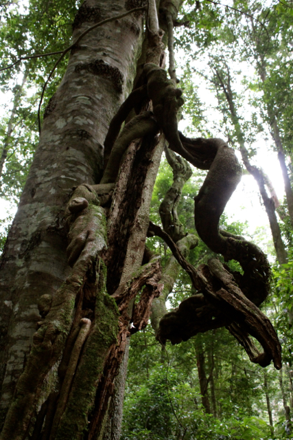 Twisted vines wrap themselves around ancient trees