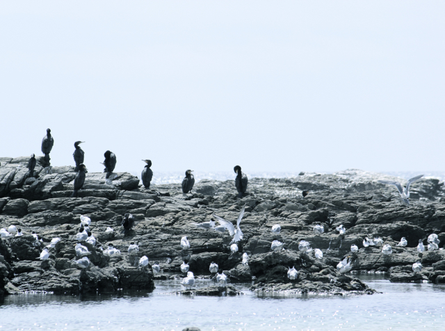 Seabirds gather on the rocks in the shallows