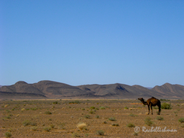 A wild camel is dwarfed by desert and mountains