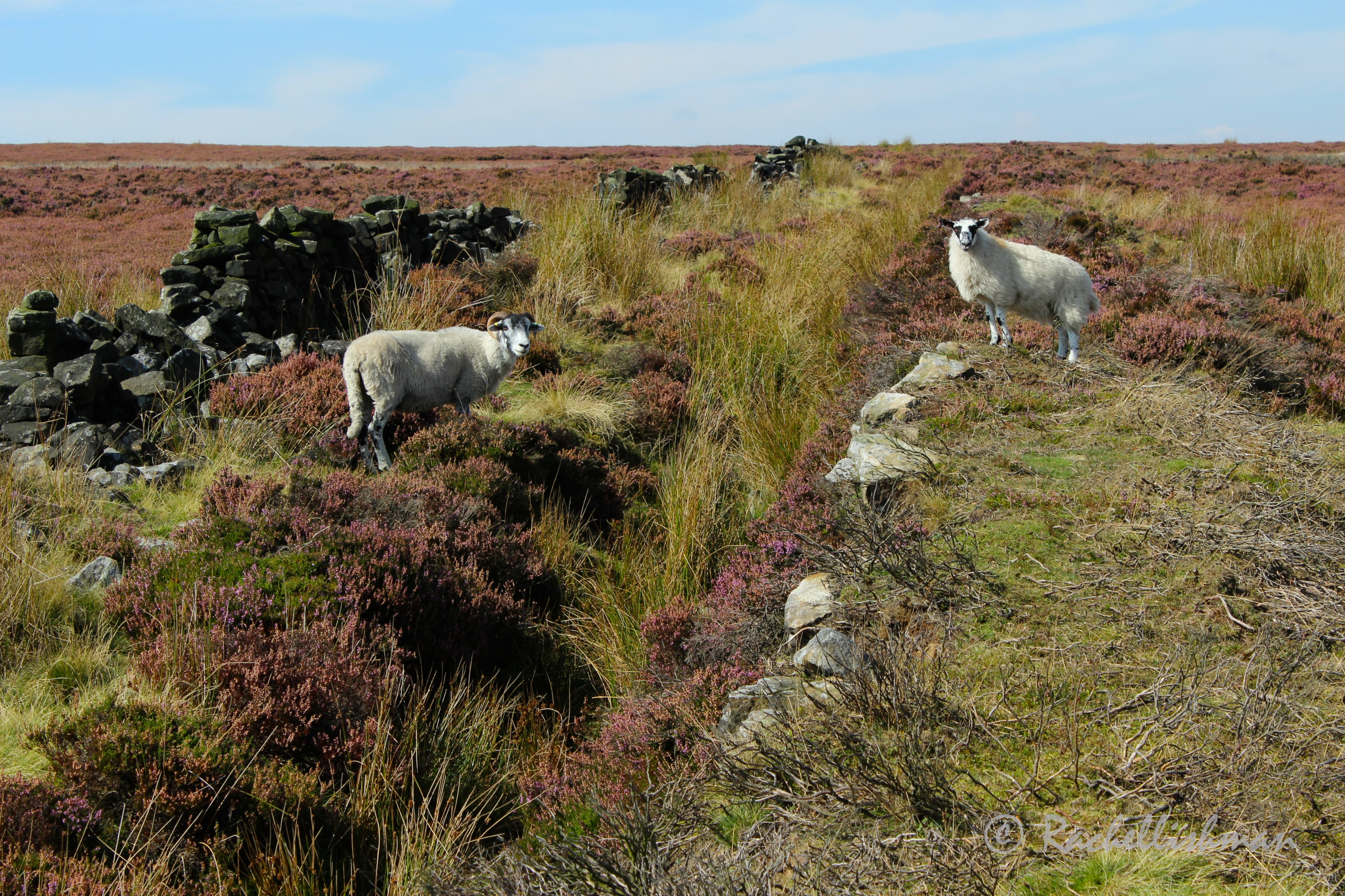 Birdlife and (many!) sheep kept us company on our walk across heather clad plains