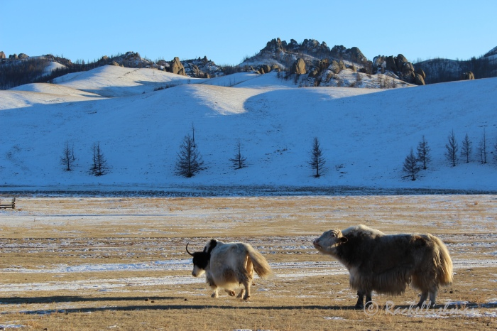Owned by nomadic farmers, yaks roam across Mongolia's wintery national parks
