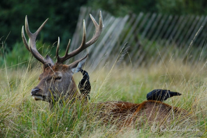 A stag lazes in long grasses while his minions give him a clean!
