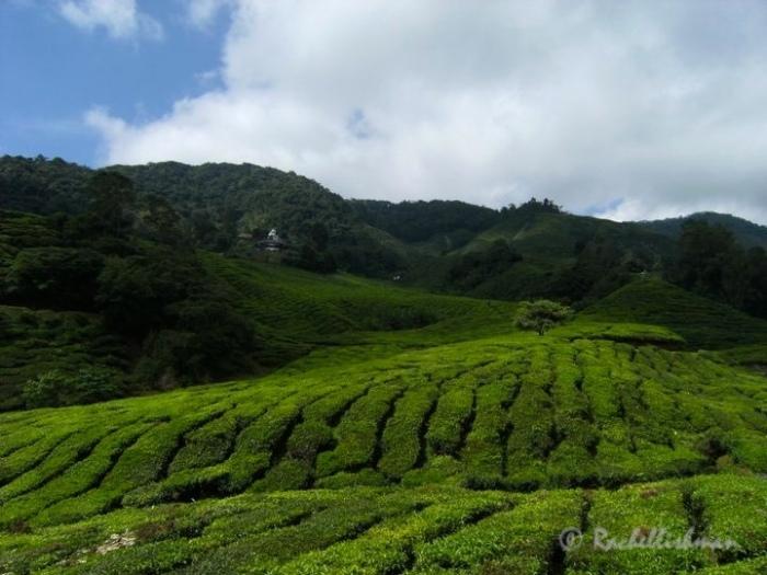 The Boh Tea Plantation, Cameron Highlands, Malaysia