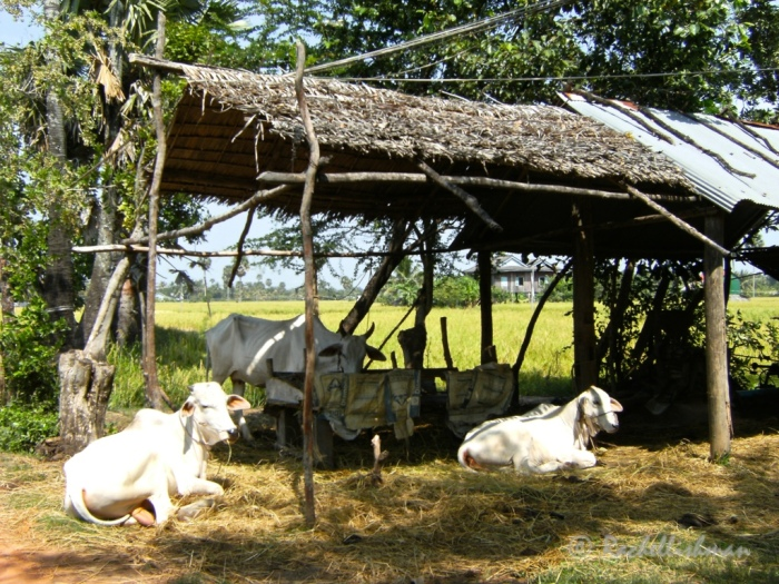 Farmland on the outskirts of Kampot. Best explored by bike.