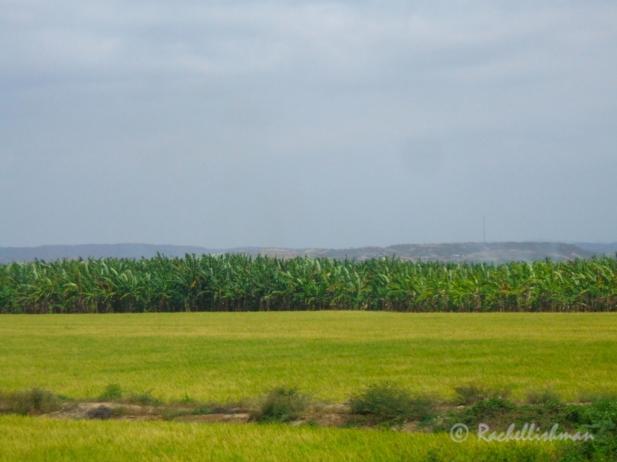 Banana plantations - North Peru