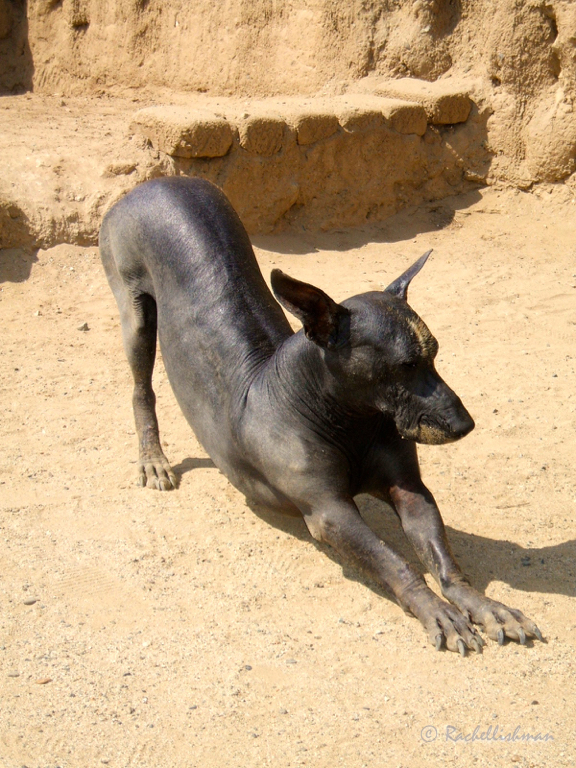 A Peruvian hairless dog prowls the walls of Chan Chan
