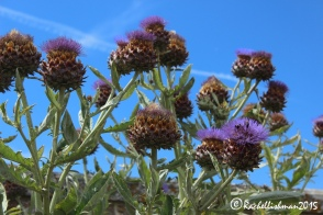 Giant thistles line the red brick walls of the palace's gardens