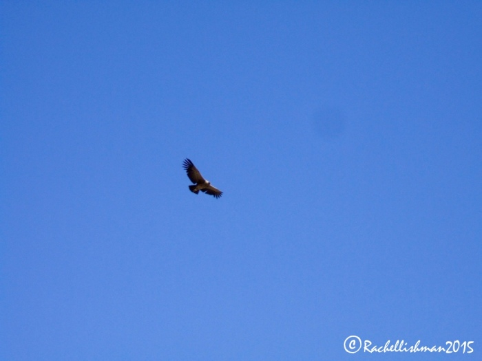 Finally we spotted the condor. At first just a spec it gradually came low enough for us to see its huge wingspan.