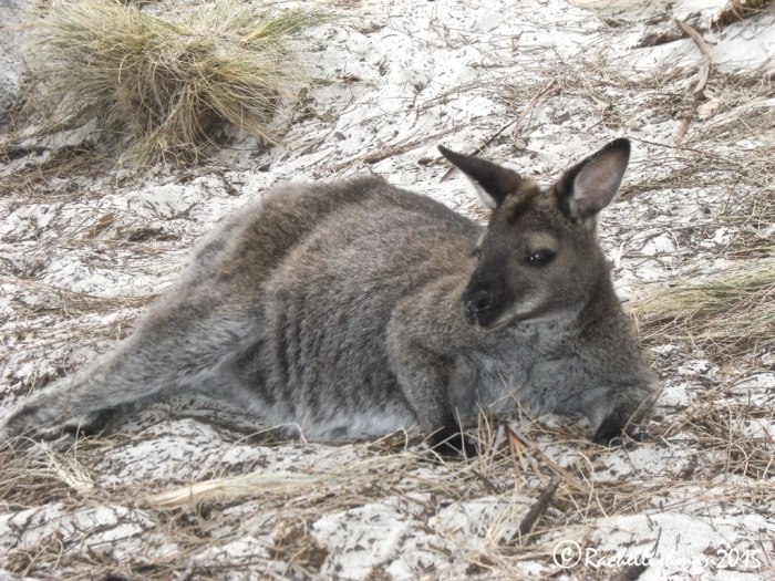 Everyone's relaxed on Freycinet...even the animals!