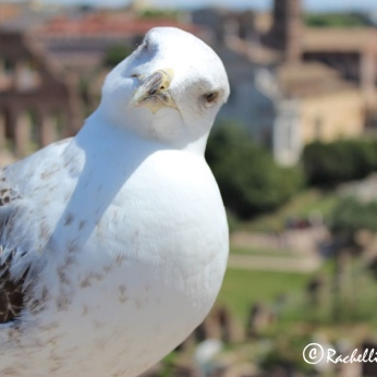 Home for this Seagull was clearly the Roman Forum!