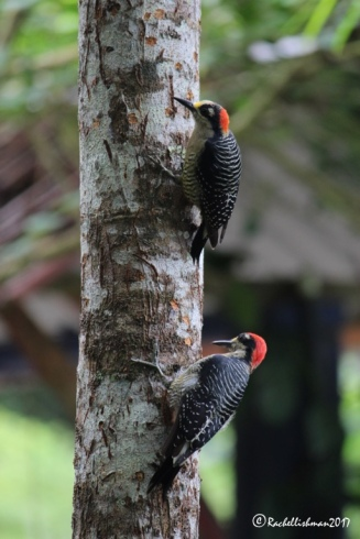 Two Blac-Cheeked Woodpeckers eat moss from this tree during my morning coffee.