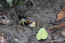 A Blue Gray Crab hovers by his burrow, eyeing me suspiciously.