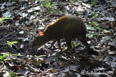 An Agouti doesn't notice my approach as it forages through the undergrowth.