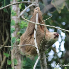 The first time I saw a sloth in the wild...