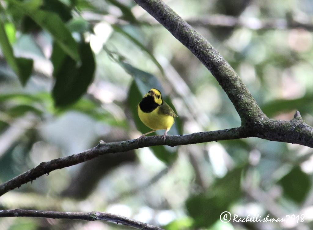 Hooded Warbler - Poptun, Guatemala