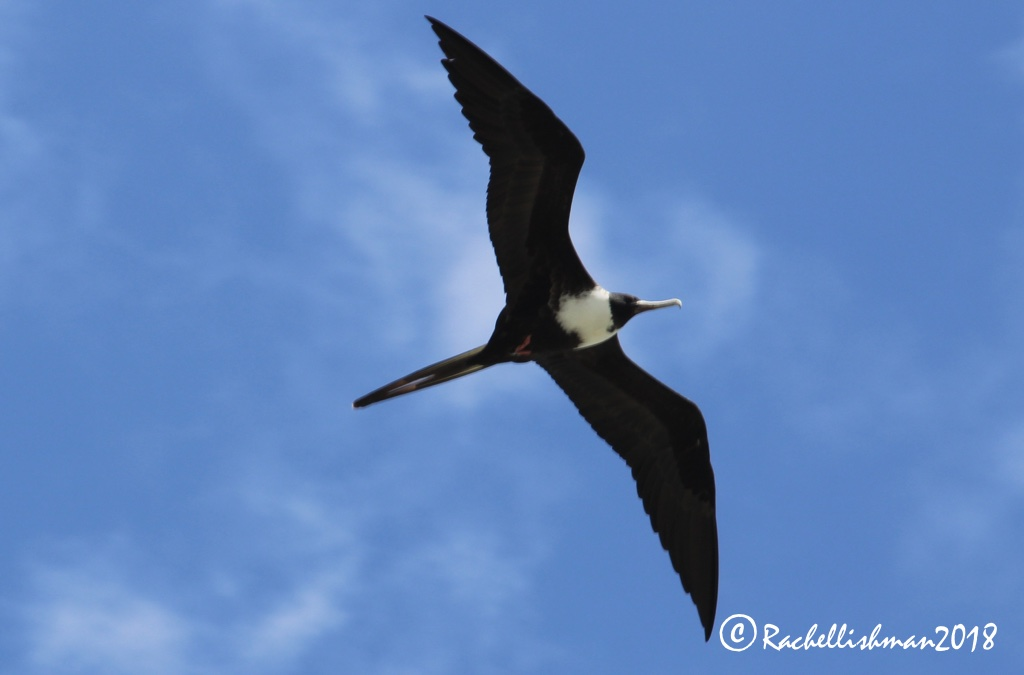 Great Frigate Bird - Panama City