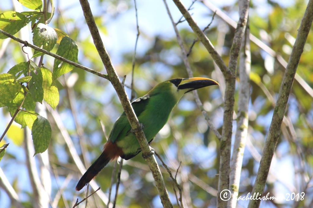 Emerald Toucanette - Poptun, Guatemala