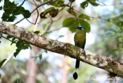 A motmot finishes his snakey meal in the back fields of the finca