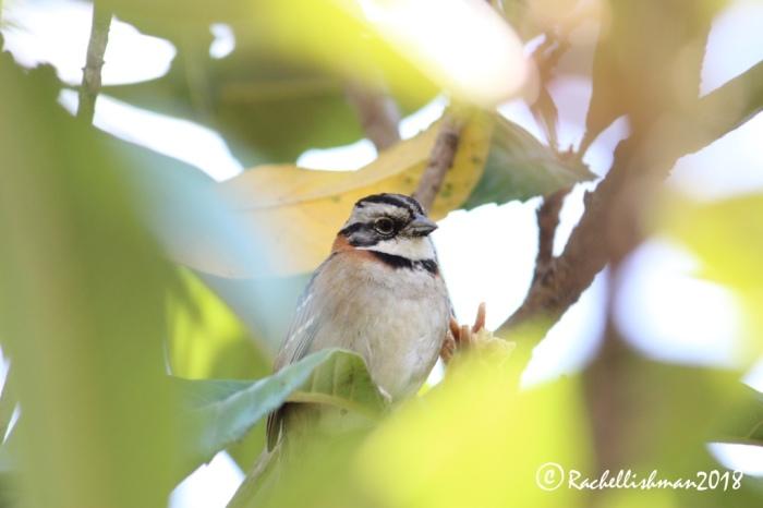 Rufous-collared Sparrow - Lake Atitlan, Guatemala