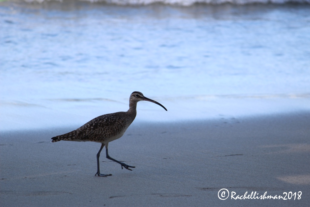 Long-billed Curlew - Costa Rica