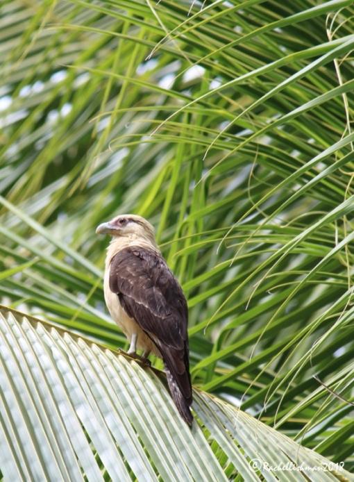 Cara Cara - Coiba, Panama
