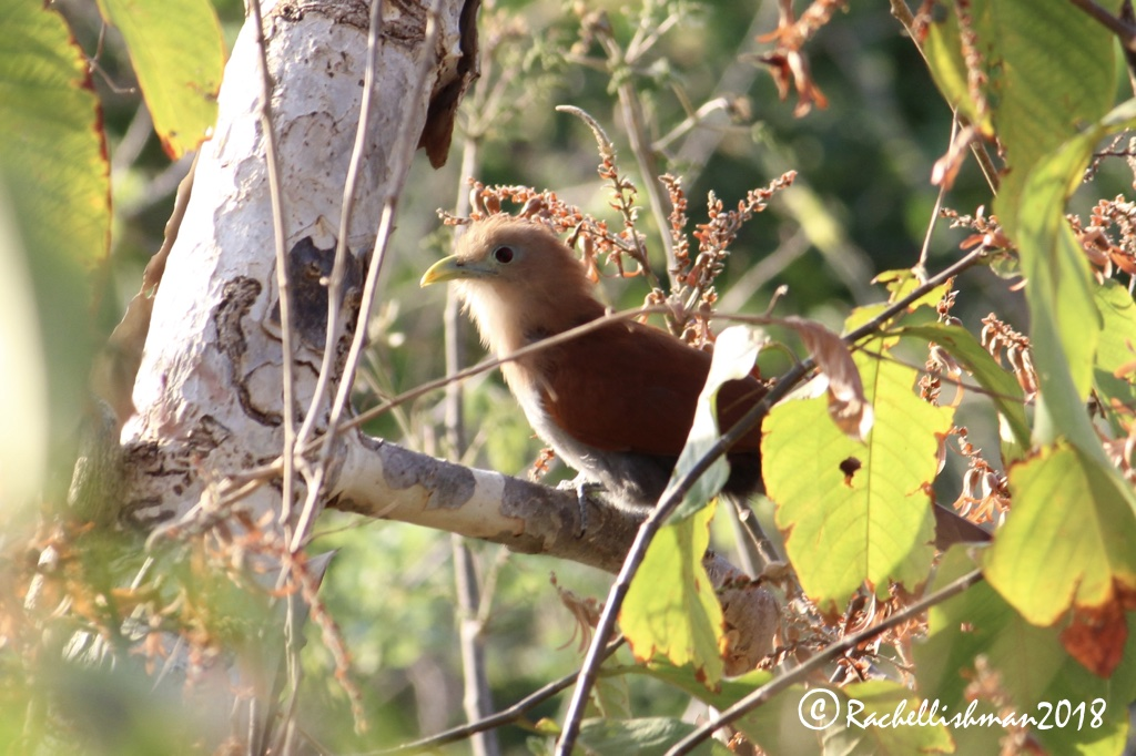 Squirrel Cuckoo - SJDS, Nicaragua