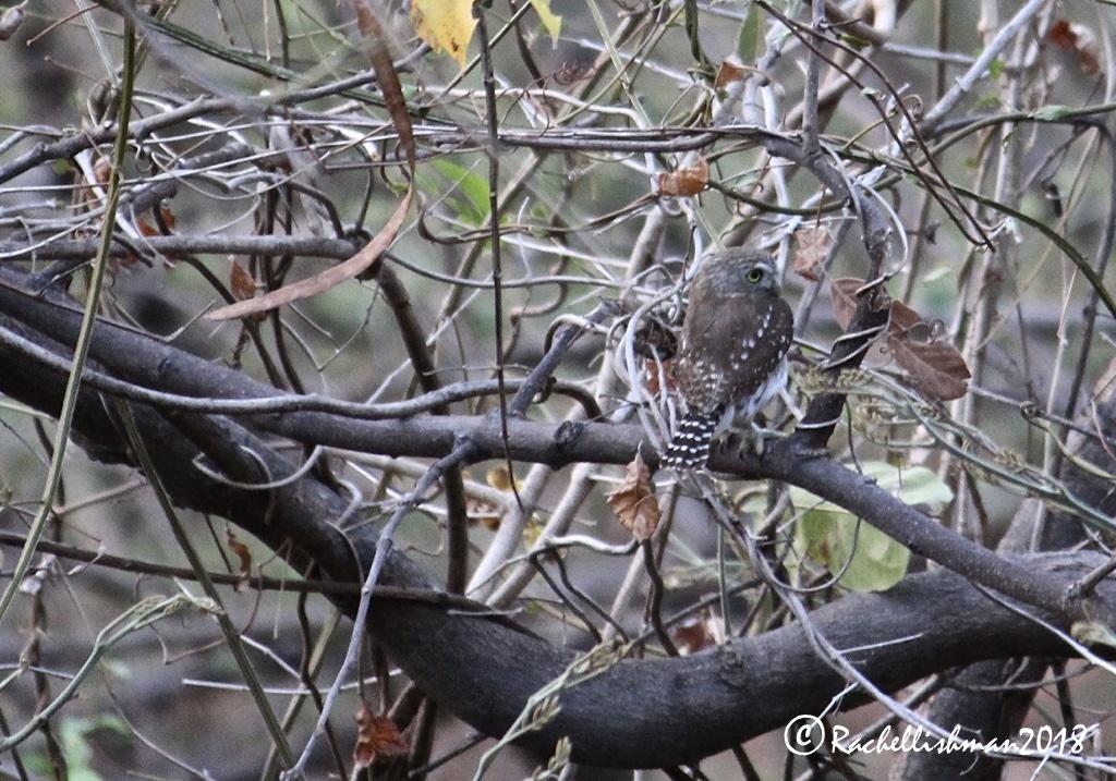Pygmy Owl - SJDS, Nicaragua
