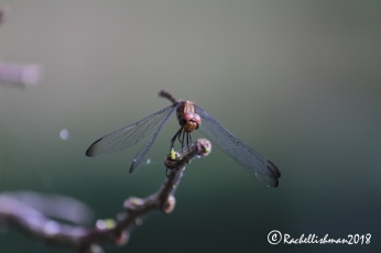A dragonfly warms itself by the lagoon