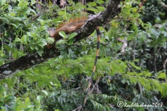 A large male iguana hides out in the banks of the Rio Dulce