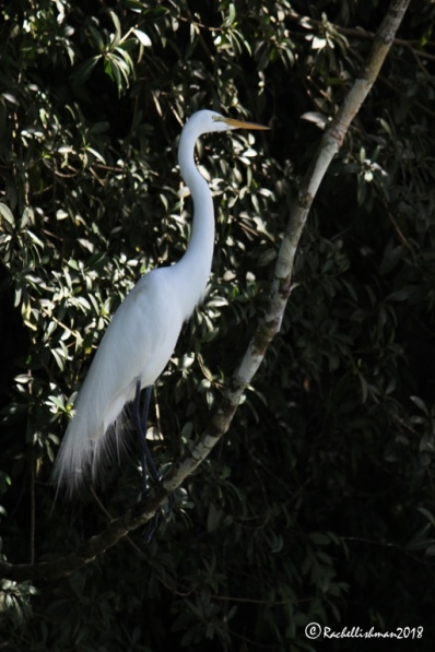 On the river banks, a Great White Egret fishes silently