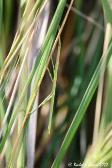 Look more closely: A stick insect blends into long grasses